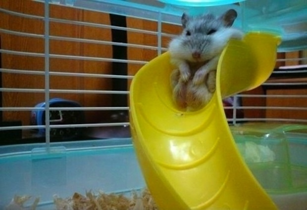 This chubby hamster that finally realized he might be too old for the playground: