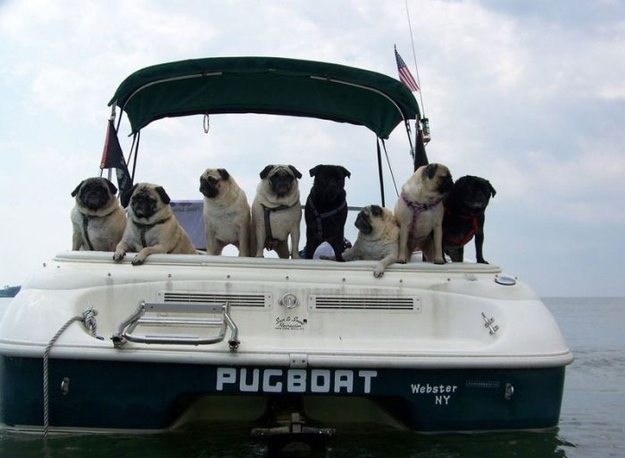 This boat full of pugs that are throwing caution to the wind and not wearing life jackets: